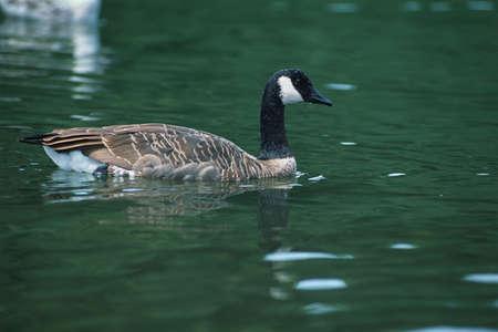 corey hochachka: Canada goose in water