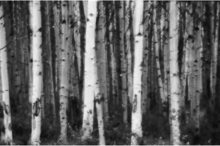 corey hochachka: Forest of small deciduous trees in black and white