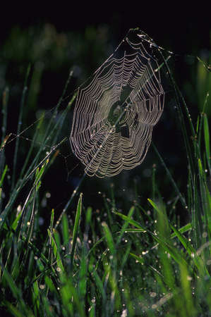 Spider web covered with dew photo