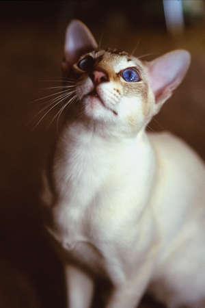 茶色の顔の白猫