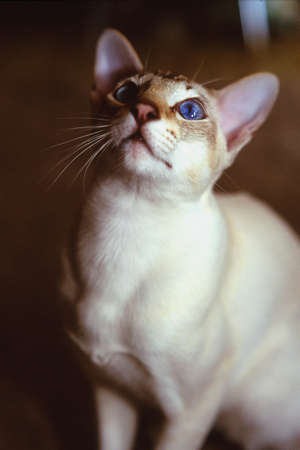 corey hochachka: White cat with brown face