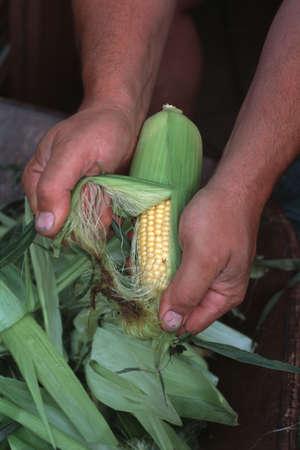 corey hochachka: Man shucking corn