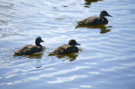 don hammond: Ducks swim in a pond