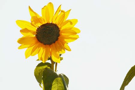 glubish: Sunflower