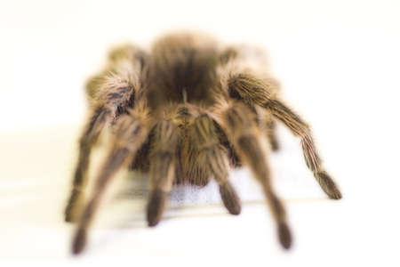 corey hochachka: A large Tarantula spider Stock Photo
