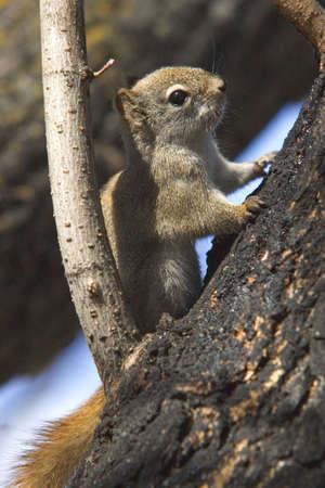 A small Red Squirrel