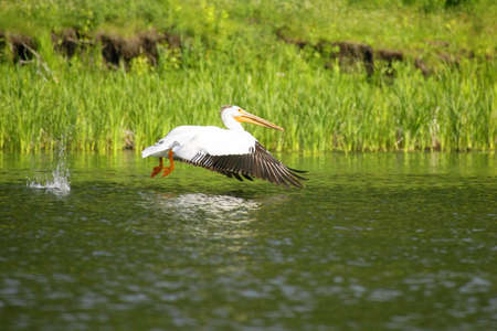 don hammond: A pelican over water