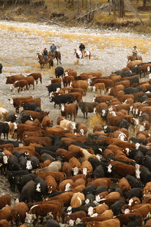 ranching: Cowboys on cattle Roundup Southern Alberta Canada Stock Photo