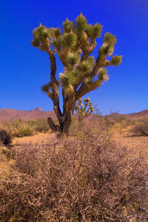 Picture of Joshua tree Stock Photo - 5496098