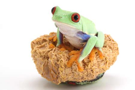 shrunken: Red-eyed tree frog Stock Photo