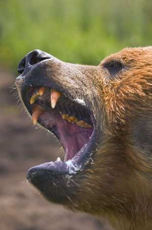 carson ganci: Brown bear Stock Photo