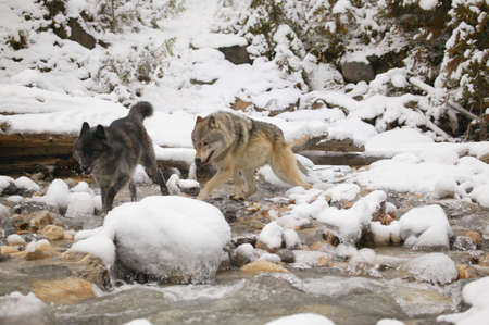 Wolves crossing a river photo