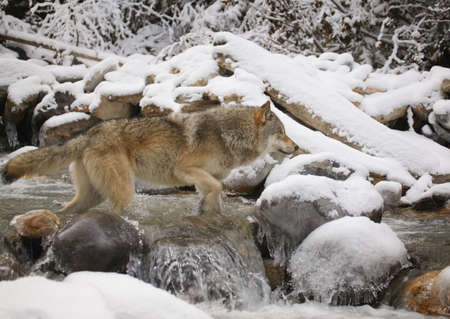 Wolf crossing river photo