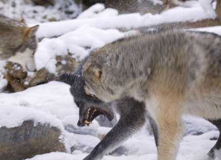 Snarling wolf photo