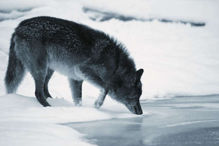 Wolf drinking from river photo