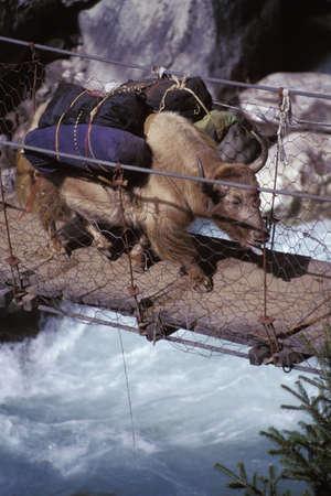 buey: Buey cargado que cruzar un r�o en un puente de madera
