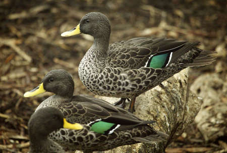 billed: South African yellow billed ducks