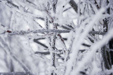 wintry: Wintry branches