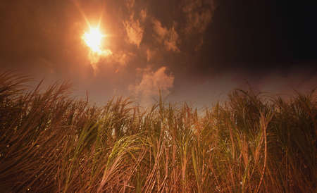 glowering: Tall grasses against a dark sun Stock Photo