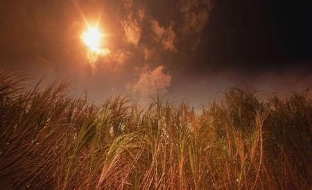 glower: Tall grasses against a dark sun Stock Photo