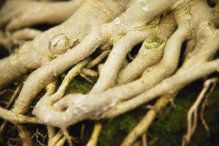 fibrous: Tree roots