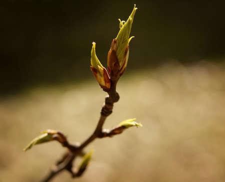 tanasiuk: Budding tree leaf Stock Photo