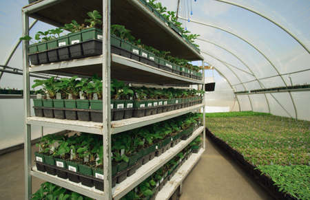 the greenhouse: Commercial plant growing Stock Photo