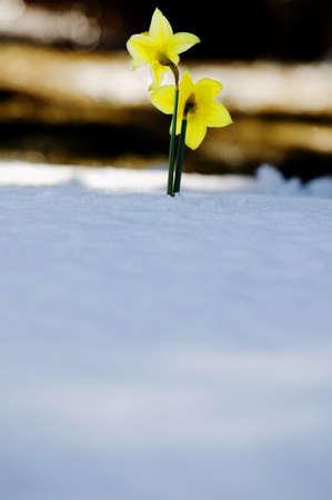 tanasiuk: Daffodils growing through the snow