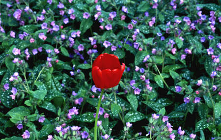 ground cover: A tulip bloom and ground cover plant Stock Photo