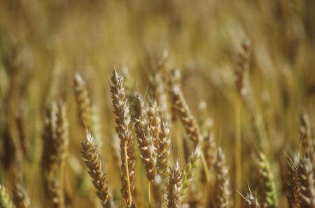 Schließen Sie reif Getreide-Kultur Standard-Bild - 5670245