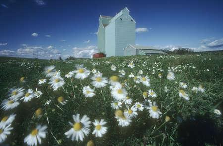 Daisy field and grain elevators, Alberta, Canada photo