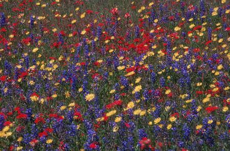 fiori di campo: Tappeto di fiori selvatici vicino a Fredericksburg, Texas, U.S.A.  Archivio Fotografico