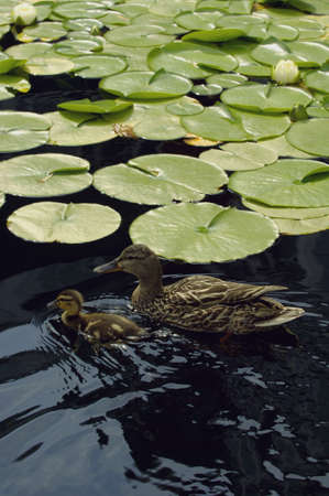 A mother duck and duckling swimming amongst lily pads