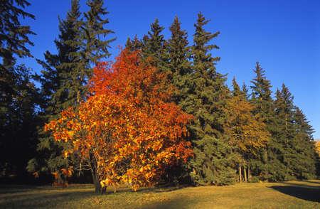 corey hochachka: Fall colour on trees Stock Photo
