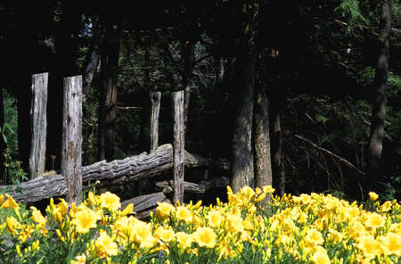 Yellow flowers against a worn wooden fence photo