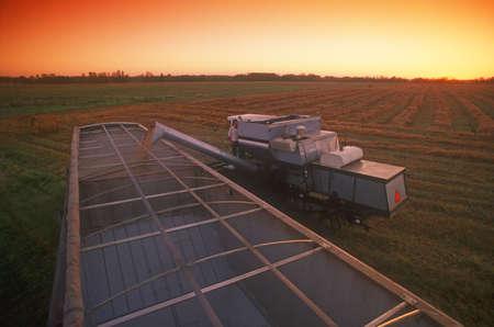 Harvesting the grain photo