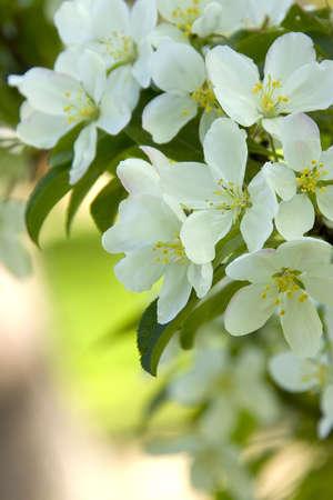 White Crab Apple Blossoms