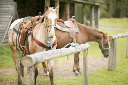warkentin: Horses wearing saddles