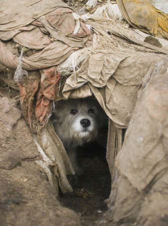 abandoned: Dog peeks out of hole Stock Photo