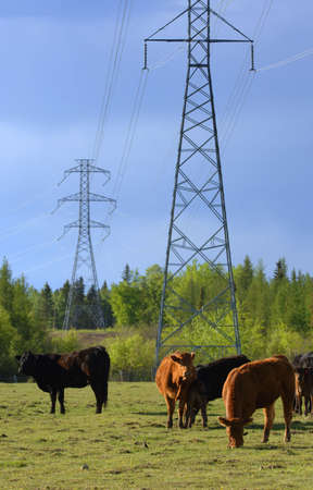 Cattle graze in field with electrical lines Stock Photo