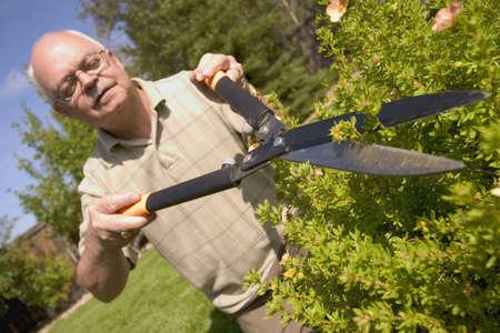 leaf cutter: Hedges being trimmed