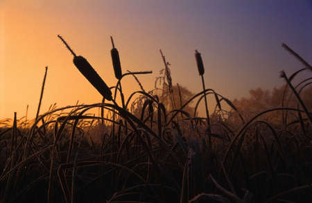 cattails: Cattails in winter