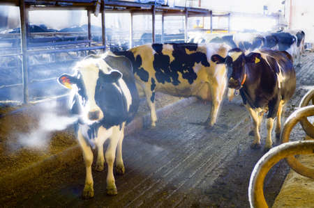 Dairy cows in barn photo