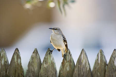 mockingbird: Mockingbird on a fence