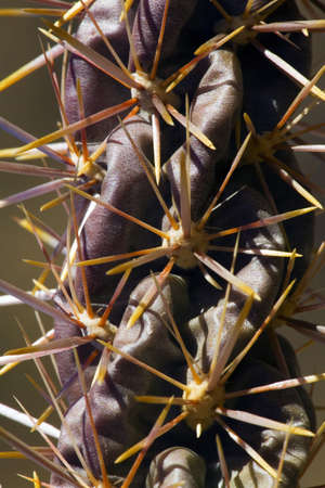 raniszewski: Detail of Cholla cactus