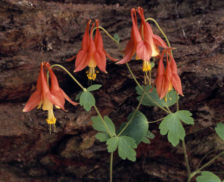 natural selection: Wild columbine blossoms in spring Stock Photo