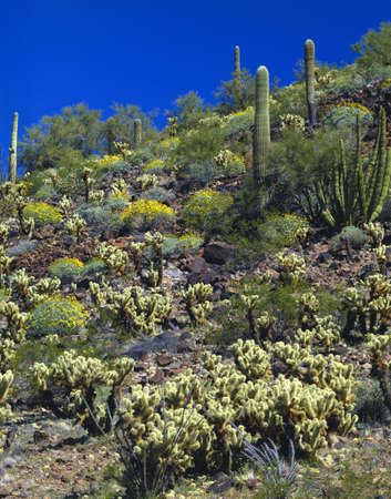 Various desert plants in spring bloom, Organ Pipe Cactus National Monument photo