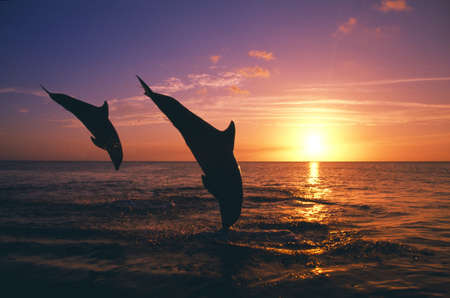 Silhouette of two bottlenose dolphins diving, sunset, Caribbean Sea
