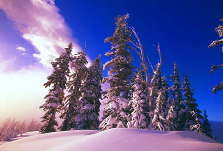 tuttle: Sunrise over snow-covered pine trees, Cascades