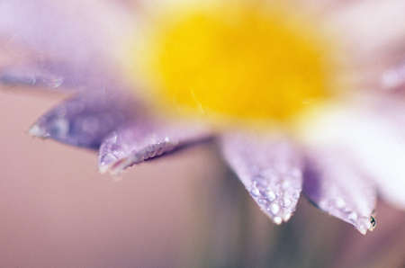 tuttle: Soft-focus detail of daisy flower with dewdrops on petals